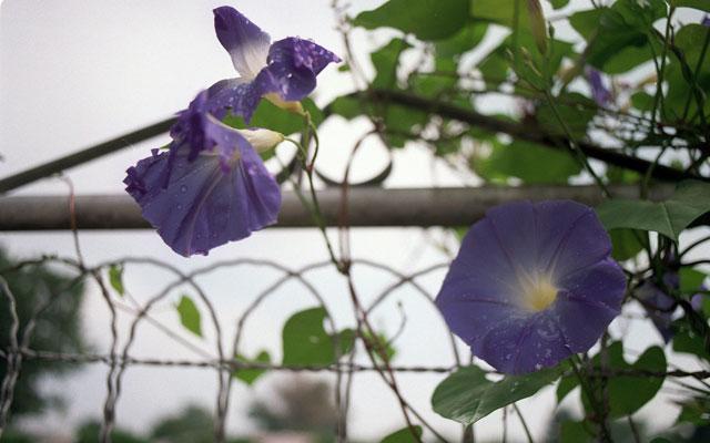 Morning Glories (CHRISTINE DeLESSIO KRT/Newscom)