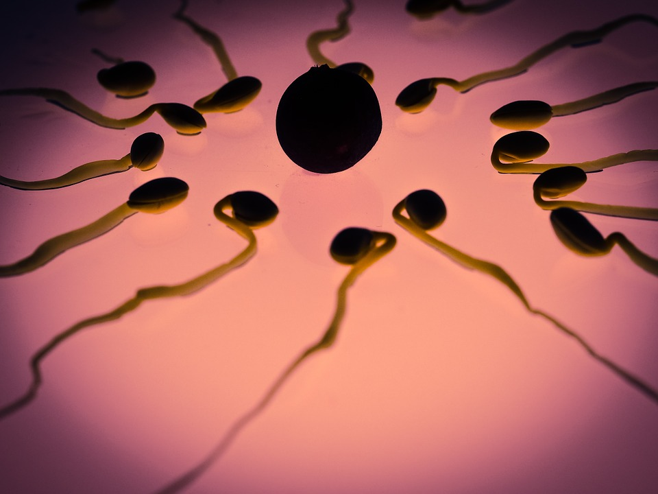 Image: Sperm from malnourished males transmits information that negatively affects the genetic expression of their offspring