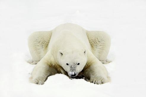 polarbear2.jpg