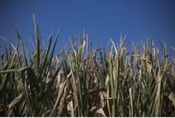 A drought stricken corn field